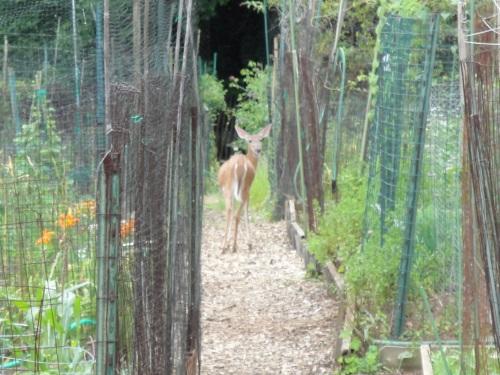 deer_in_path1