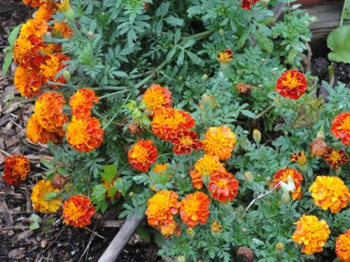 The marigolds I started from seed have become bushy and plentiful.